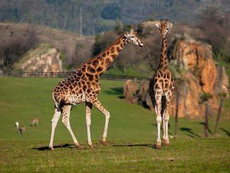 mueren tres jirafas del parque de la naturaleza de cabarceno