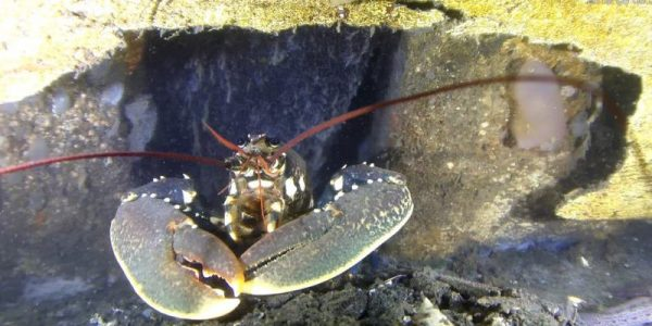 bogabante-europeo-homarus